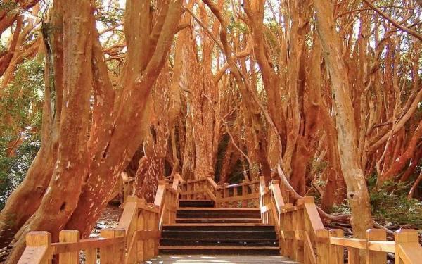 جنگل سبز باریلوچه | Bariloche's myrtle forest