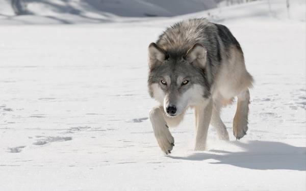 مقابله با حمله گرگ